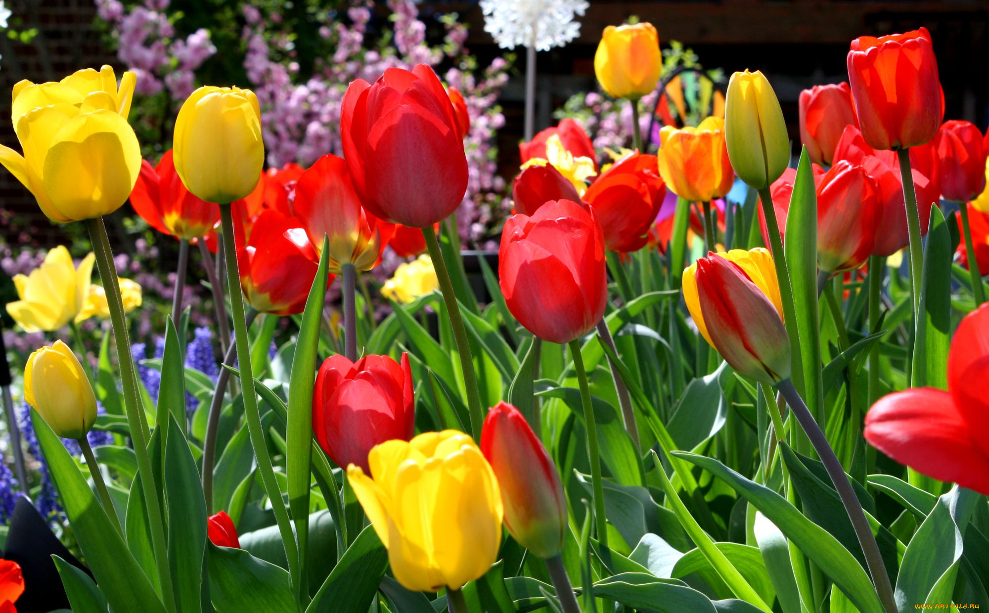 что картинки на рабочий стол весенние тюльпаны зависимые
